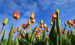colorful-tulips-and-blue-sky-11280155796RO2o